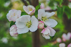 Beautiful blossoming apple bud. Beautiful blooming bud on the apple tree trunk Stock Image