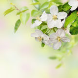 Beautiful  blossoming apple tree Royalty Free Stock Photo