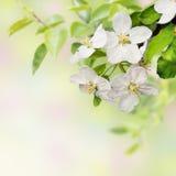 Beautiful  blossoming apple tree Royalty Free Stock Photo