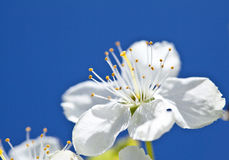 Beautiful blossoming apple tree Royalty Free Stock Photography