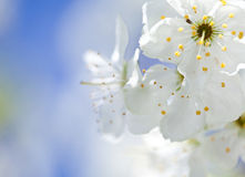 Beautiful blossoming apple tree Stock Photo
