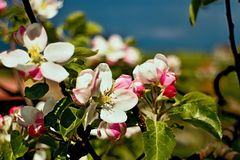 Beautiful blossoming apple tree. Beautiful blossoming apple tree in the garden Stock Image