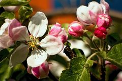 Beautiful blossoming apple tree. Beautiful blossoming apple tree in the garden Stock Photos