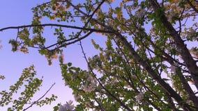Beautiful blossoming apple-tree garden. Beautiful summer  landscape. stock footage