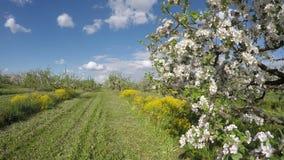 Beautiful blossoming apple tree  garden panorama. Timelapse 4K stock video footage