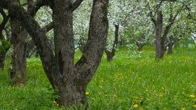 Beautiful blossoming apple-tree garden. Petals fall to the ground. Beautiful blossoming apple-tree garden stock video footage