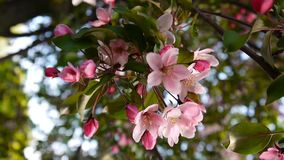 Beautiful pink blossoming apple tree on wind spring in the garden. Static camera. Beautiful blossoming apple tree on wind spring in the garden stock video footage