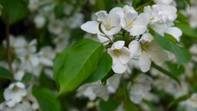 Beautiful blossoming apple tree on wind spring in the garden. Static camera. stock video footage