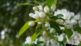 Beautiful blossoming apple tree on wind spring in the garden. Static camera. stock video