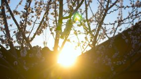 Beautiful blossoming apricot tree at sunset, branches of flowering tree shakes in the wind stock video