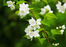 Beautiful blossoming branch of jasmine. The image of a beautiful blossoming branch of jasmine Stock Photo