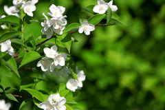 Beautiful blossoming branch of jasmine Stock Photography