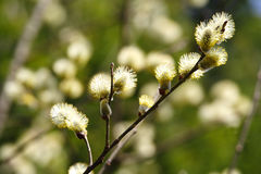 Beautiful blossoming branch of a willow Sunny spring day Royalty Free Stock Photos