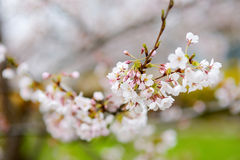 Beautiful blossoming cherry tree Stock Images