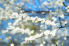 Beautiful blossoming cherry tree Royalty Free Stock Images
