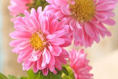 Free Beautiful Blossoming Chrysanthemums Stock Photography - 126424582