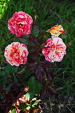 Beautiful blossoming family of four Bud. Blooming yellow red dressing garden green tea rose. Stock Photos
