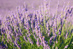 Beautiful blossoming lavender Royalty Free Stock Photos