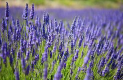 Beautiful blossoming lavender Royalty Free Stock Photography