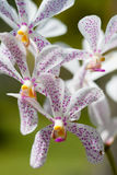 Beautiful blossoming orchid Stock Photography