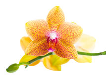Beautiful blossoming pointed orange orchid is isolated on white Royalty Free Stock Images