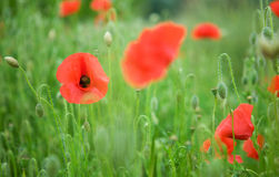 Beautiful blossoming poppies Royalty Free Stock Photography