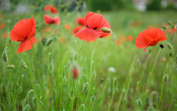 Beautiful blossoming poppies Stock Photo