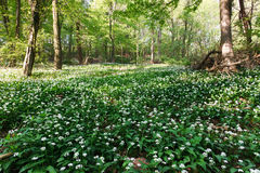 Beautiful blossoming ramsons in the forest Royalty Free Stock Photo