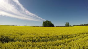 Beautiful blossoming rapeseed yellow field in evening sunlight. Timelapse 4K stock footage