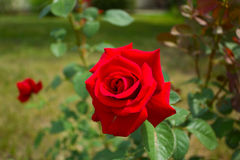 Beautiful blossoming rose flower in the garden,  green background. Red rose in the garden Royalty Free Stock Photo