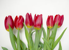 Beautiful blossoming tulip flower. Floral design. Nature background. Spring background with beautiful fresh flowers Stock Image