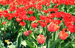 Beautiful blossoming tulips on sunny spring day. Outdoors royalty free stock photos
