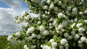 Beautiful blossoming viburnum in spring garden stock footage