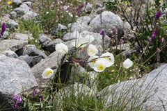 White poppy flowers in summer near Beluha mountain, Altai, Russia. Beautiful blossoming white poppy flowers in summer near the highest peak of the Altai Royalty Free Stock Images