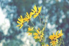 Beautiful blossoming yellow Jerusalem artichoke flower on a back royalty free stock photography