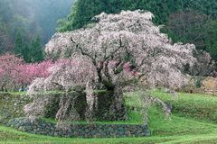 Beautiful blossoms of a giant sakura cherry tree blooming in a foggy spring garden. ~ The Matabei-zakura is a 300-year-old huge cherry tree in the rural area of Royalty Free Stock Images