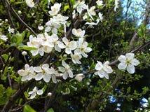 Beautiful blossum Stock Image