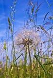 Beautiful blowball flower Stock Image