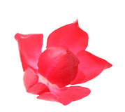 Beautiful blowing rose Royalty Free Stock Images