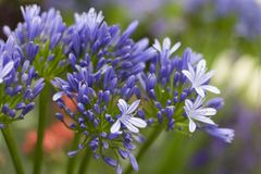 Beautiful blue agapanthus flowers garden at the background of green grass Stock Image