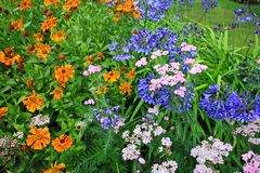 Beautiful blue Alium and mixed garden flowers Stock Images
