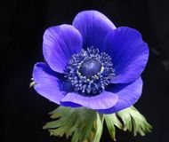 Beautiful blue anemone flower on black background - close up. View royalty free stock photos