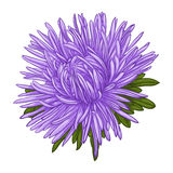 Beautiful blue aster isolated on white background. Royalty Free Stock Photo