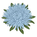 Beautiful blue aster isolated on white background. Royalty Free Stock Images