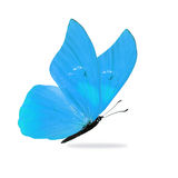 Beautiful Blue Butterfly. Isolated on white background stock photography