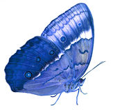 Beautiful blue butterfly, Cambodian junglequeen side view Royalty Free Stock Images