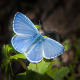 Beautiful Blue Butterfly Stock Image