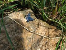 Beautiful blue butterfly sitting on a stone Royalty Free Stock Photos