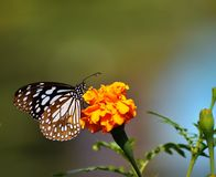 Beautiful blue butterfly on yellow flower stock image