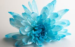 Beautiful blue chrysanthemum flower close-up. On white background royalty free stock images